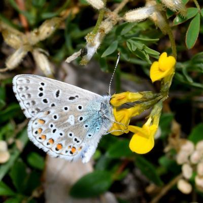 Polyommatus bellargus - Le Bel-Argus, l'Azuré bleu céleste (mâle)