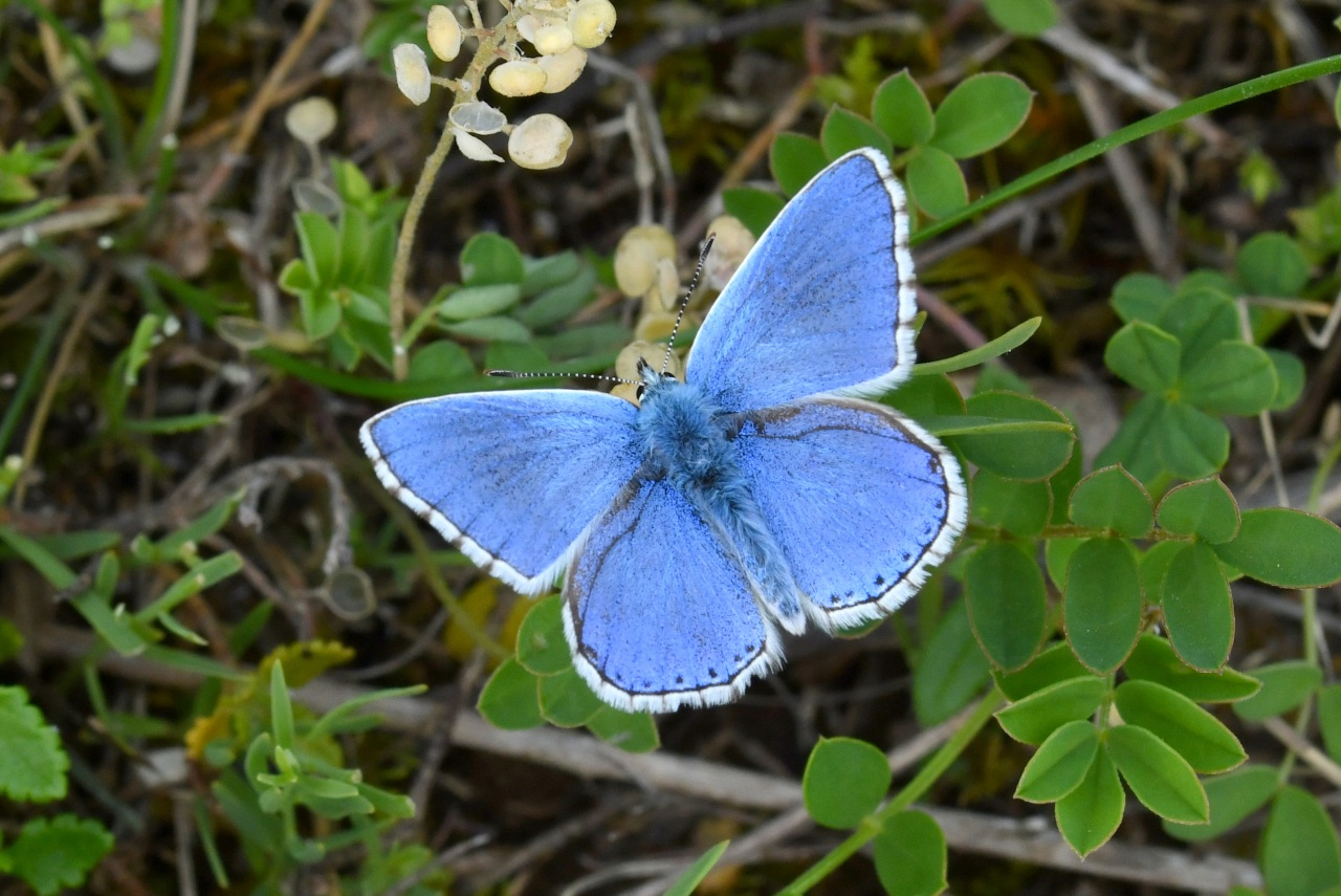 Lysandra (= Polyommatus) bellargus - Bel-Argus, Azuré bleu céleste (mâle)
