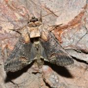 Abrostola triplasia - Plusie à lunettes