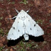 Acronicta leporina - Noctuelle-Lièvre