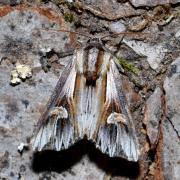 Actinotia polyodon - Camomilière