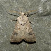 Agrotis bigramma (= A. crassa) - Noctuelle trapue