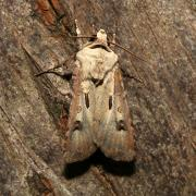 Agrotis exclamationis - Point d'Exclamation