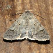 Ammoconia caecimacula - Tache effacée, Noctuelle aveugle