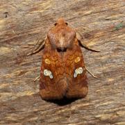 Amphipoea oculea - Noctuelle éclatante