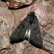 Aporophyla nigra - Noctuelle anthracite