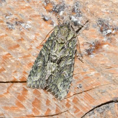 Dryobotodes eremita - Le Jaspe vert