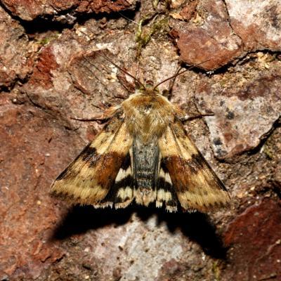 Heliothis viriplaca - Noctuelle de la Cardère