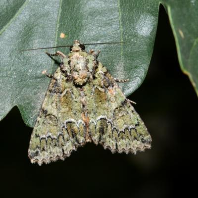 Polyphaenis sericata - La Noctuelle du Camérisier