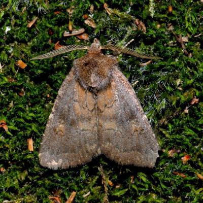 Rusina ferruginea (= Charanyca) - La Noctuelle ténébreuse (mâle)