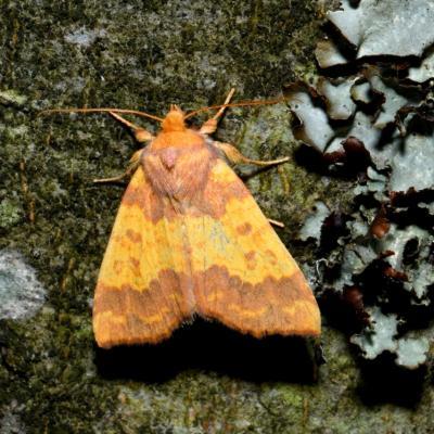 Tiliacea aurago - La Xanthie dorée