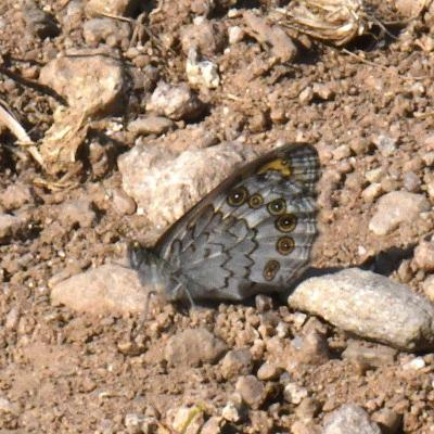 Lasiommata maera - Némusien (= mâle), Ariane (= femelle)