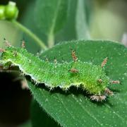 Limenitis camilla (chenille)