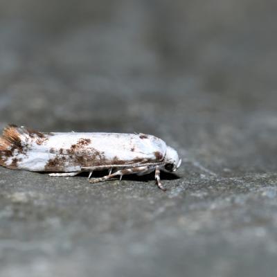 Praydidae