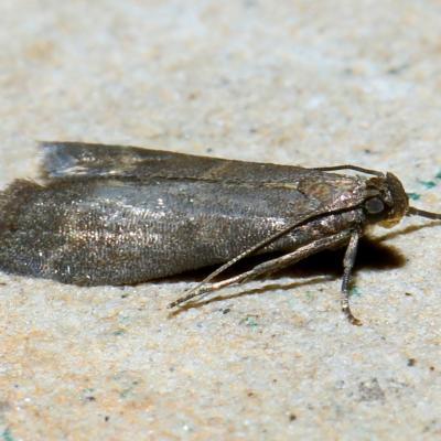 Eccopisa effractella Zeller, 1848 - Phycide du Pommier