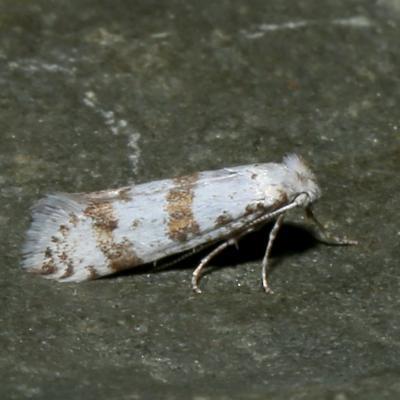 Scythropiidae