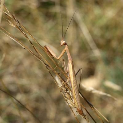 Mantis religiosa (Linnaeus, 1758) - Mante religieuse (mâle)