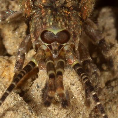 Microcoryphia