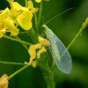 Chrysoperla sp