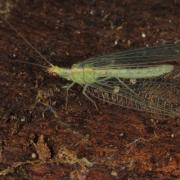 Chrysoperla carnea - Demoiselle aux yeux d'or