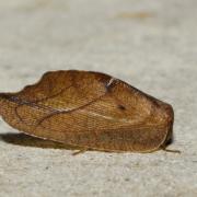 Drepanepteryx phalaenoides