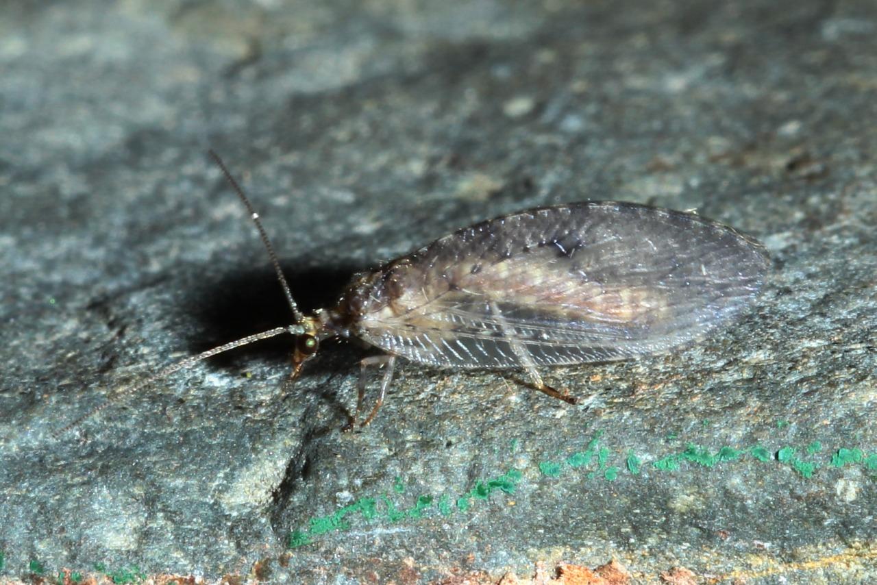 Hemerobius sp