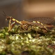 Mantispa styriaca - Mantispe commune