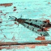 Distoleon tetragrammicus - Fourmilion longicorne