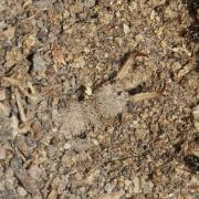 Euroleon nostras - Fourmilion parisien (larve)