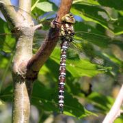Aeshna cyanea - Aeschne bleue (femelle)