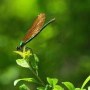 Calopteryx virgo - Calopteryx vierge (femelle)