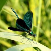 Calopteryx virgo - Calopteryx vierge