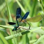 Calopteryx splendens - Calopteryx éclatant