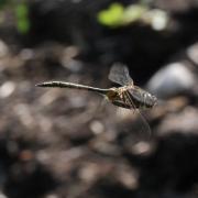 Somatochlora flavomaculata - Cordulie à taches jaunes