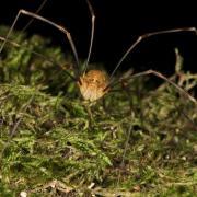 Opilio canestrinii (mâle)
