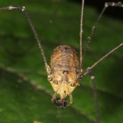 Leiobunum rotundum (Femelle)
