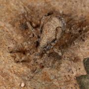 Anelasmocephalus cambridgei