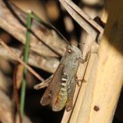 Chorthippus biguttulus - Criquet mélodieux