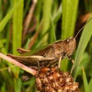 Chorthippus dorsatus - Criquet verte-échine