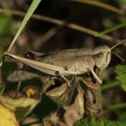 Chrysochraon dispar - Criquet des clairières (femelle)