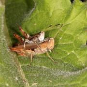 Gomphocerippus rufus - Gomphocère roux (femelle)