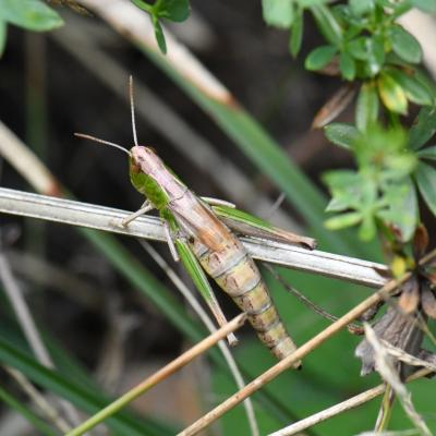 Pseudochorthippus parallelus - Criquet des Pâtures (femelle)