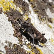 Psophus stridulus - Oedipode stridulante