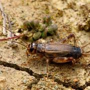 Eumodicogryllus bordigalensis - Grillon bordelais (femelle)