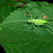 Meconema meridionale - Méconème fragile (mâle)