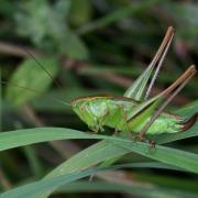 Bicolorana bicolor - Decticelle bicolore (femelle)