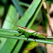 Conocephalus fuscus - Conocéphale bigarré (femelle)