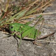 Decticus verrucivorus - Dectique verrucivore (femelle)