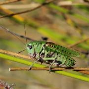Decticus verrucivorus - Dectique verrucivore (mâle)