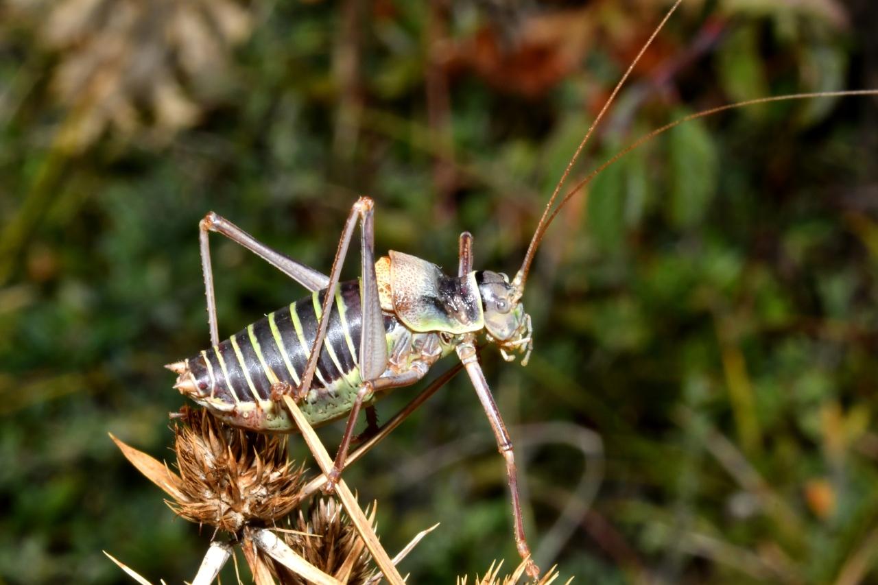 Ephippiger diurnus - Ephippigère des vignes (mâle mature)